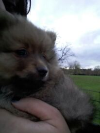 1 small pomeranian boy left!