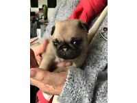 Kc pug puppies for sale.