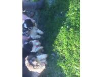 Pedigree shihtzu puppies for sale