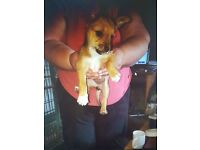 16 week old chorkie had all jabs and microchpped 250 ono