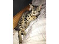 Beautiful female grey kitten for sale