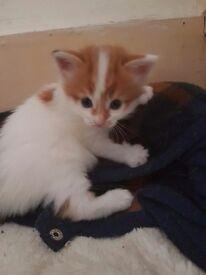 Kittens white and ginger