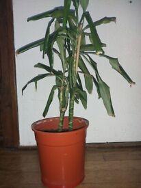Indoor plant - 2 x palm trees