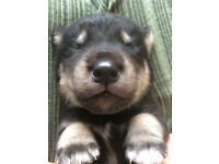 Beautiful Huskador (husky/Golden Lab) Puppies For Sale 6 Boys and 4 Girls £350