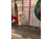 Two white budgies and cage