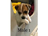 Jack Russell pups - 2 males