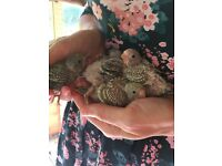 Beautiful baby hand tame Budgies for sale