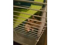 Dwarf Hamster - Male