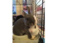 Netherland Dwarf rabbits - 4 Available