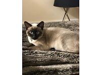 7 month make Siamese cat