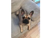 Gorgeous 11 month old French bulldog