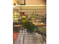 Beautiful green budgie with cage