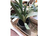 Furcraea Longaeva Plant