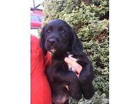 Black Cocker Puppy For Sale