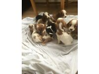 Show type cocker spaniels puppies for sale