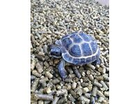 BABY HORSEFIELD TORTOISE, VERY TAME, HANDLED DAILY, WITH TORTOISE TABLE E.C.T