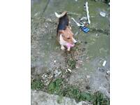Small jack Russel for sale needs to go to a good home
