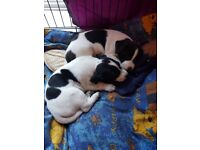 2 Beautiful girl jack russell puppies for sale