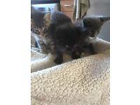 One long haired beautiful black kitten part British short hair mix