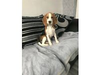 9 week old female tri coloured beagle pup