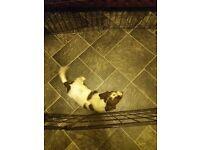 Championship lines Springer Spaniel Puppy