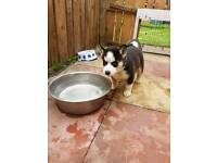 Husky pups ready now