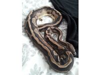 proven male pied with het female royal python