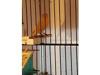 Canary hens