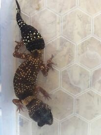 Australian barking gecko male for sale
