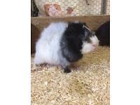 Beautiful young guinea pigs