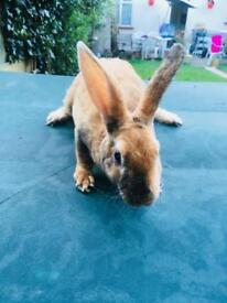 Rex rabbits for sale