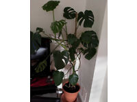 PLANT / LARGE 5ft / Great condition
