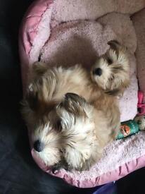 Morkie puppies 🐶