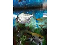 Silver dollar fish for sale