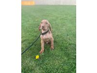 Kc reg Health Tested Hungarian Vizslas