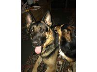 Stan is for sale, a beautiful German shepherd 3 yr dog.