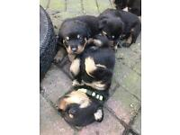 Big Rottweiler puppies
