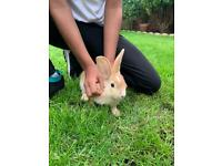 Beautiful bunny's/ rabbits for sale £50