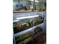Fish for sale. Kribensis, Mollies, Platties, Swordtails, Guppies and m