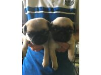 Full pedigree pugs