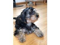Yorkshire Terrier cross Miniature Poodle Puppy