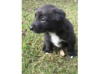 Collie Pup for sale