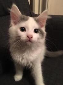 8 weeks old adorable male Mainecoon X kitten