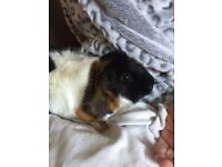 2 males guinea pigs to be rehoused together
