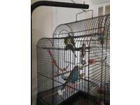 2 budgies+ cage