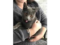 Beautiful all Grey female kitten