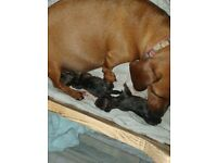 My beautiful dachshunds girl has had4 beautiful puppies