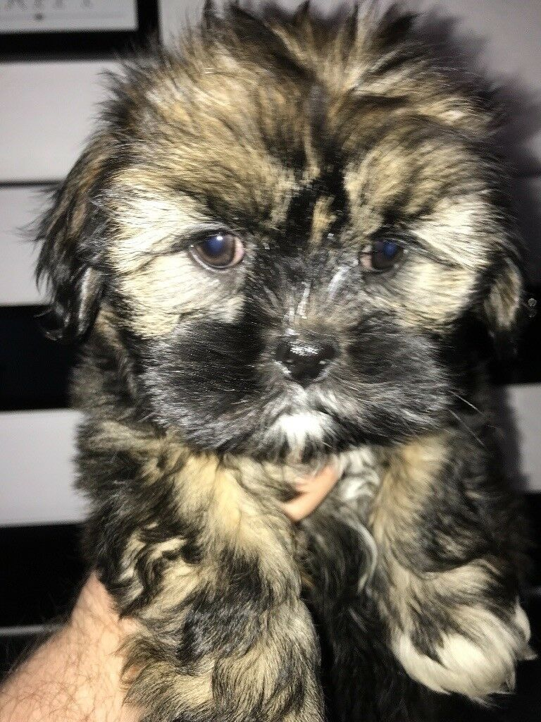 Lhasa apso puppy for sale fully kc registered 8 weeks old