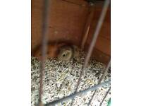 Male guinea pigs for sale