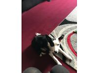 4MTH OLD BORDER COLLIE FOR SALE .